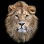 laven lion